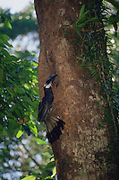 Bushy-crested Hornbill (Anorrhinus galeritus) at its nest hole..Gunung Palung National Park, Borneo, Indonesia