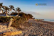 Great blue heron at Blind Pass Beach on Sanibel Island, Florida, USA