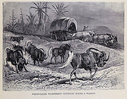 White-Tailed Wildebeest curveting around a waggon From the book ' Royal Natural History ' Volume 2 Edited by Richard Lydekker, Published in London by Frederick Warne & Co in 1893-1894