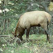 Elk, (Cervus elaphus) bull making scrape on ground and urinating to mark rut territory. Fall.