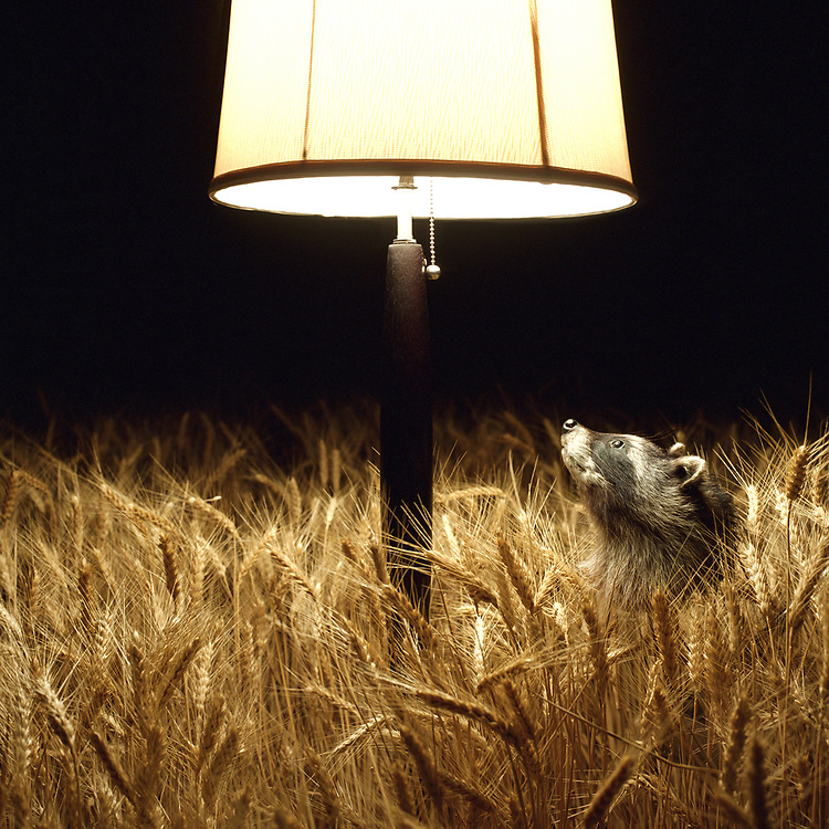 Raccoon looking up at lamp in wheat field, night
