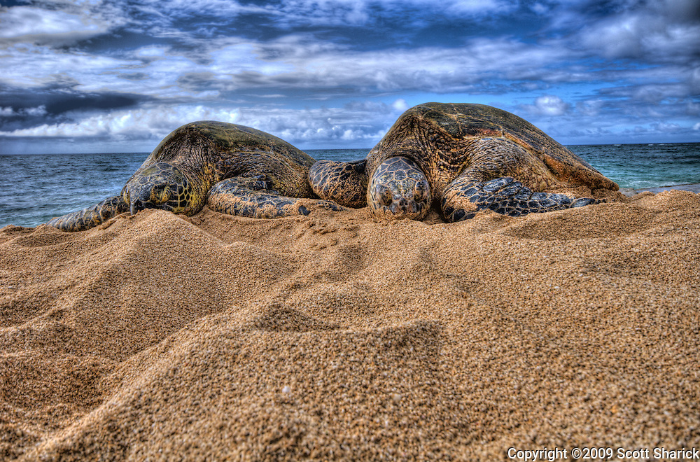 Two Hawaiian Green Sea turtles rest on a North Shore Beach on Oahu.