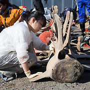 Examining and cleaning the large vertebrae comprising the central part of the spinal column of an exhumed fin whale (Balaenoptera physalus)