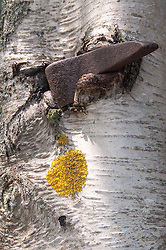 Wedge and Birch Bark Abstract, Great Island, Castine, Maine, US