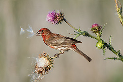 House finch tearing apart purple thistle, Great Trinity Forest, Dallas, Texas, USA