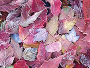 frozen maple leaves design