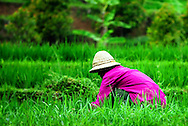 Indonesia, Bali. Woman wearing a purple shirt and working on a green rice field.