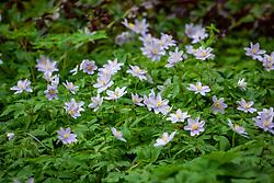 Anemone nemorosa 'Robinsoniana' AGM - Wood anemone
