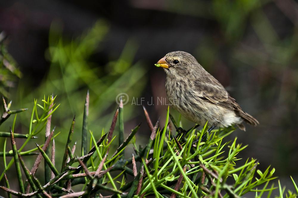 Small tree finch () from Puerto Egas, Santiago island, Galapagos.