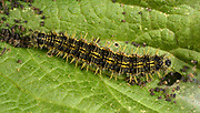 Close-up of a Small tortoiseshell butterfly larva (Aglais urticae) feeding on a nettle leaf in a Norfolk open woodland habitat in summer