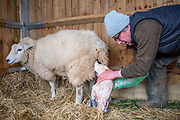 A farmer delivers a lamb in the early Lambing season of 2019, whilst the Covid19 pandemic begins to sweep the country.Credit: Johanna Harris/UoG/PathosImages