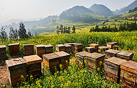 Chine, Province du Yunnan, Luoping, champs de Colza en fleur, abeille, apiculture // China, Yunnan, Luoping, Fields of rapeseed flowers in bloom, apiculture