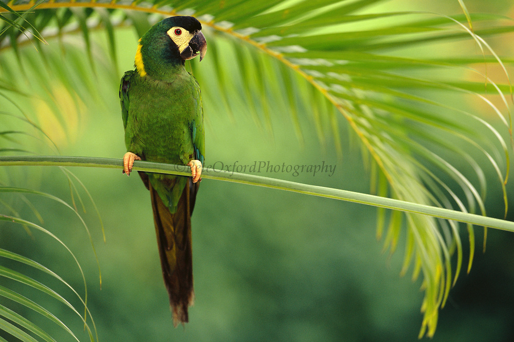 Golden-collared Macaw<br />Propyrrhura auricollis<br />Bahia State, BRAZIL.  South America<br />Range: ne Bolivia to Paraguay, sw Brazil to Argentina