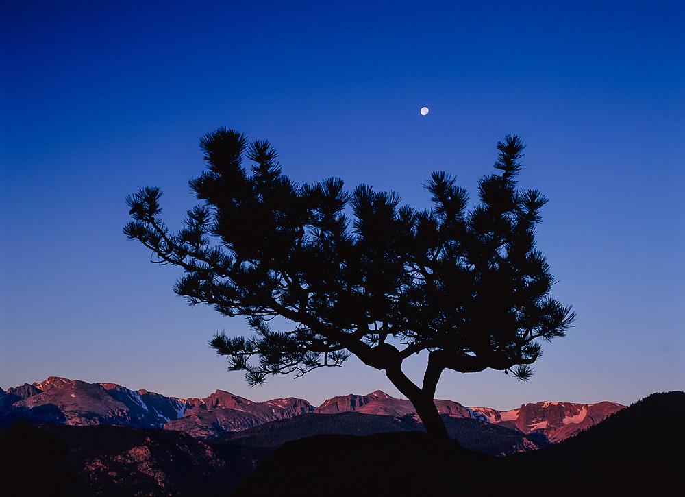 Pine tree and moon, morning light, Rocky Mountain National Park, Colorado, USA