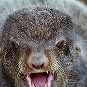 Northern Fur Seal (Callorhinus ursinus) Male portrait, mouth opened, showing teeth. St. Paul, Pribilof Islands. Alaska.