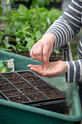 Sowing lettuce into modules. Lactuca sativa