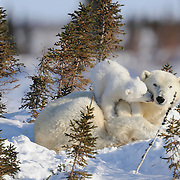 Polar Bear mother and cub recently out of the den. Western Hudson Bay population in Manitoba, Canada