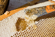 """23 APRIL 2007 -- FT. MCDOWELL, AZ: Beeswax and honey in a beehive owned by Dennis Arp. Arp has been a commercial beekeeper in Flagstaff, AZ, for more than 20 years. He said he lost almost 50 percent of his hives in the last year for no apparent reason. The syndrome has been termed """"Colony Collapse Disorder"""" and was first reported on the East Coast of the US last fall. Researchers do not know what is causing the disorder. Stress, parasites, disease, pesticides and a lack of genetic diversity are all being investigated. German researchers are also studying the possibility that radiation from cellphones is scrambling the bees' internal navigation systems.  Photo by Jack Kurtz"""