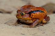 Madagascar tomato frog (Dyscophus antongilii), eastern Madagascar (controlled conditions).
