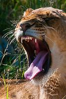 A lion cub yawning, Nxai Pan National Park, Botswana.