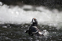 27.05.2008.Harlequin duck (Histrionicus histrionicus) male.Laxa River, Mývatn, Iceland