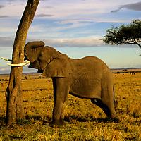 Africa, Kenya, Maasai Mara. An elephant and two trunks.