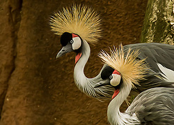 The grey crowned crane is a bird in the crane family Gruidae. It occurs in dry savannah in Africa south of the Sahara, although it nests in somewhat wetter habitats.