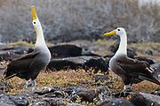 A pair of critically endangered endemic Waved Albatross in courtship behavior (Phoebastria irrorata) Espanola Island, Galapagos Islands, Ecuador