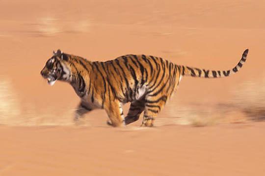 Bengal Tiger, (Panthera tigris)  Running in dunes. Captive Animal.