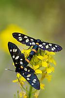 Nine-spotted moth, Amata phegea/Syntomis phegea, North Velebit National Park,  Velebit Nature Park, Rewilding Europe rewilding area, Velebit  mountains, Croatia