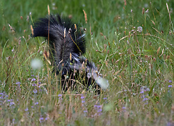 July 23, 2017 - Elkton, OREGON, U.S - A skunk shows off its tail while foraging in a pasture along a country road near Elkton in rural western Oregon. (Credit Image: © Robin Loznak via ZUMA Wire)