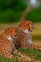 Two cheetahs on a mound, near Kwara Camp, Okavango Delta, Botswana.