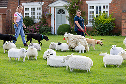 © Licensed to London News Pictures. 04/08/2021. Kilsby, Northamptonshire, UK. Pictured, local walkers with the knitted sheep on the village green. The ladies of the Kilsby WI have Yarn-Bombed their small village to celebrate its centenary. The main feature, a knitted a court room scene which sits outside the village hall to mark the Centenary of the village. The work celebrates women on Jury service and is complete with jury, defendant and Judge. The group have also installed other displays around the village including displays on Keep Britain Tidy, Midwives, plastic Pollution and honeybees. Photo credit: Dave Warren / LNP