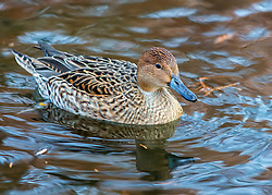 The Pintail or Northern Pintail (Anas acuta) is a duck with wide geographic distribution that breeds in the northern areas of Europe, Asia and North America.