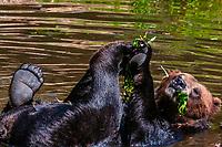 Coastal Brown Bears, Fortress of the Bear (wildlife sanctuary), Sitka, Alaska USA.