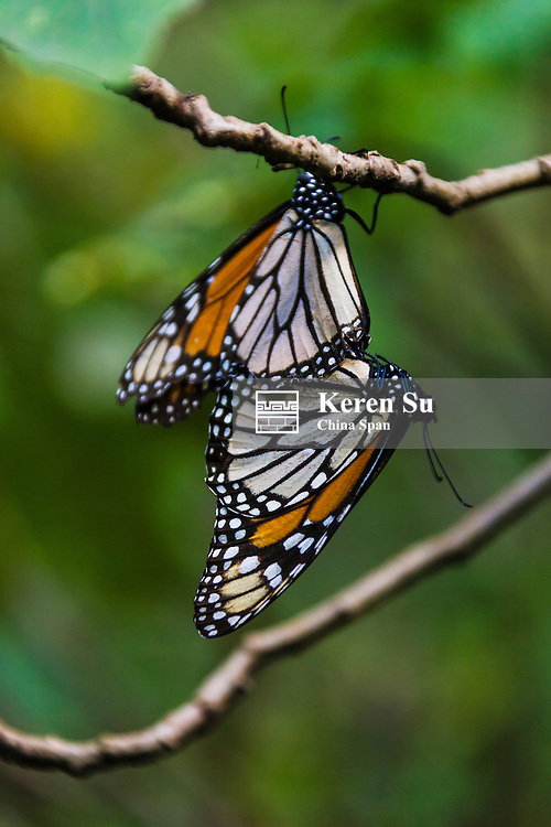 Monarch Butterflies on the pine tree, Michoacan, Mexico