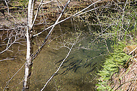 Spawning steelhead trout in the Usal Creek in northern Mendocino County, California.