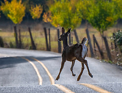 September 29, 2018 - Elkton, OREGON, U.S - A black tailed deer runs along a road near Elkton in rural western Oregon. (Credit Image: © Robin Loznak/ZUMA Wire)