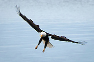 Bald Eagle (Haliaeetus leucocephalus) (Halietus leucocephalus) spreads its wings and extends talons while  approaching a fish in the Hood Canal of Puget Sound, Washington state, USA