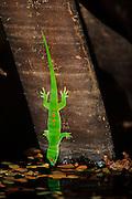 Day gecko drinking, Ankarana NP, Madagascar