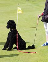 ST. ANDREWS -Schotland-GOLF. Weekend op de golfbanen van St. Andrews. Putten op zaterdag op de green van Ladies Putting Club. honden mogen mee op de golfbaan.  COPYRIGHT KOEN SUYK