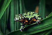 A fire-bellied toad (Bombina orientalis). Native range:Korean peninsula, NE China