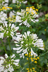 Agapanthus 'White Heaven' (African lily) with Foeniculum vulgare (Fennel)