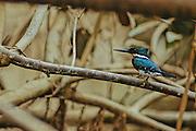 Green Kingfisher (Chloroceryle americana) - Amazonia, Peru