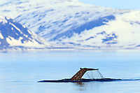 Narwhal tail (fluke) in Baffin Bay with Bylot Island in the background, Nunavut, Canada in the Canadian Arctic