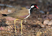 Red-wattled lapving (Vanellus indicus) from Bandhavgarh National Park, India.