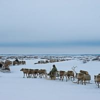 A reindeer caravan herded by the last nomadic Komi clan crosses vast frozen tundra north of the Arctic Circle, near Nizhnyaya Pesha, Russia.