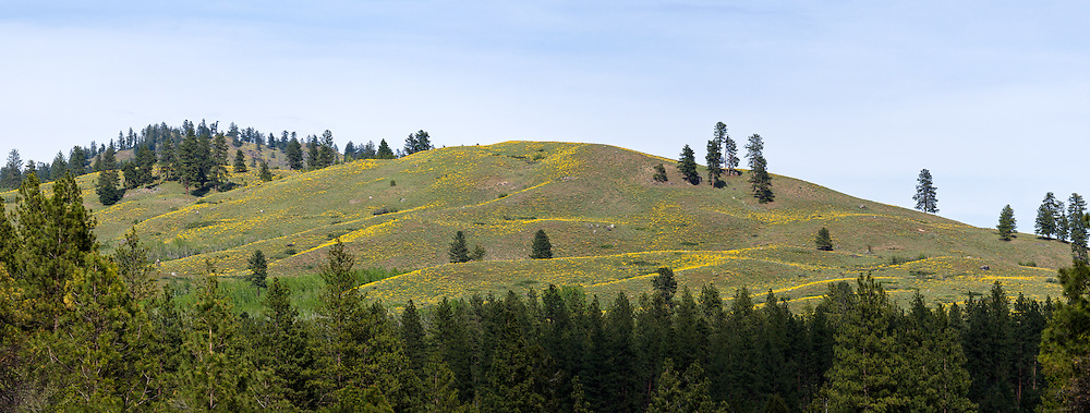 Balsamroot plants flowering on a hillside near Twisp in the Methow Valley in Washington State, USA.