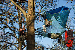 Harefield, UK. 21 January, 2020. An activist lowers himself down a tree at the Save the Colne Valley wildlife protection camp. Activists seeking to protect ancient woodland threatened by the HS2 high-speed rail link continue to occupy both the roadside and woodland sites of the camp having retaken it from bailiffs acting on behalf of HS2 on 18th January. 108 ancient woodlands are set to be destroyed by HS2.