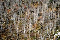Birch autumn scenery, Betulaceae.Atlantic marine life, Saltstraumen, Bodö, Norway